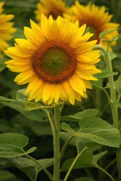 Picture of Sunflower, Kansas State Flower | PlanetWare