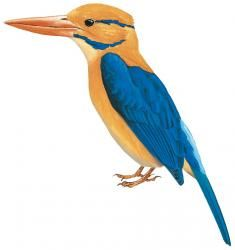 Bougainville Moustached Kingfisher (Actenoides bougainvillei)