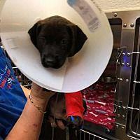 New York Ny Labrador Retriever Meet Plato A Dog For Adoption Labradorretriever Labrador Retriever Golden Retriever Labrador Labrador Retriever Dog