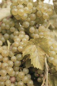 Raisin vert -raisin blanc  - Raisin-vitamines - Le chasselas : Le chasselas a reçu une AOC. Petits grains ronds et blonds, à peau fine. Sa chair est fondante, très juteuse, délicate et sucrée. Il n'aime pas la cuisson...