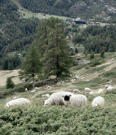 Hiking In Zermatt – Valais – Switzerland North Country, Zermatt, Switzerland, Sheep, Hiking, Mountains, Nature, Travel, Outdoor