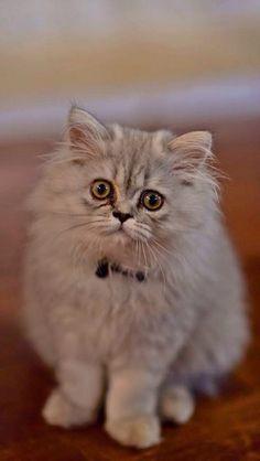 Persiankittenpals.com #silver Persian kitten #cute #persian #kitten