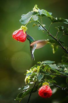 **Stripe-tailed hummingbird by Petr Bamhouse