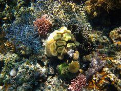 The beautiful coral of East Timor, Crocodile Island