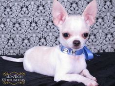 """Our pups have been featured on CuteOverLoad.com a few times, in Chihuahua Connection Magazine, Wine Dogs USA and Rover (coffee table books). Check out: """"StarPups"""" and """"Pup Bookends"""" features on C…"""