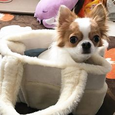 . - 2016.12.30 - ⁑ 朝んぽ行ってから 出掛ける準備をしていたら 今日は鞄の中にin😂💓 ⁑ なんか、ごめ〜ん🙏🏻ってなっちゃいました😅 ⁑ ⁑ #愛犬#チワワ#親バカ#1歳#1歳6ヶ月#やんちゃ娘#お転婆娘#わんこなしでは生きていけない会#大切な家族#ゆず#YUZU#女の子#ロングコートチワワ#チワワ部#dog #instadog#chihuahua#今日のゆずさん#お出掛け#心が痛くなる#年末だから許して#明日はゆずの好きなところ#連れてってもらおう#お土産買って帰るね