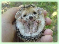African Pygmy Hedgehog | African Pygmy Hedgehogs