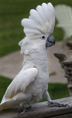 umbrella cockatoo - Google Search More