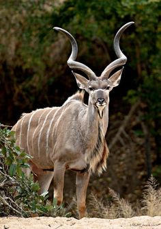 Kudu Bull - Tragelaphus strepsiceros is a woodland antelope found throughout eastern and southern Africa .