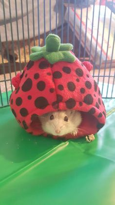 Is not this cute hamster in a strawberry? Dwarf Hamster Cages, Cool Hamster Cages, Dwarf Hamsters, Teddy Hamster, Hamster Toys, Hamster Stuff, Winter White Hamster, Cute Hamsters, Rodents