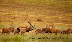 Red deer stag chasing a hind in his harem Wildlife Photography Tips, Deer Photography, Red Deer, Deer