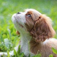 Tallulah the Cavalier King Charles Spaniel