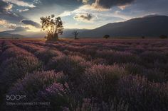 Lavender sunset by dkupratsevich #Landscapes #Landscapephotography #Nature #Travel #photography #pictureoftheday #photooftheday #photooftheweek #trending #trendingnow #picoftheday #picoftheweek