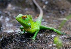 Calote Lizard. Reptiles, Green, Animals, Animales, Animaux, Animal, Animais