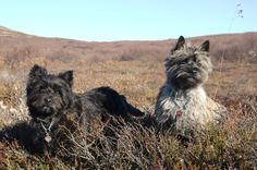 Cairn terrier in Iceland