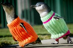 Knitters! You can save these little penguins by making them sweaters.