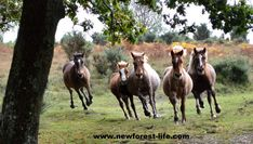 New Forest pony round up at The Drift