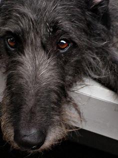 Beautiful photo portrait of a Scottish deerhound