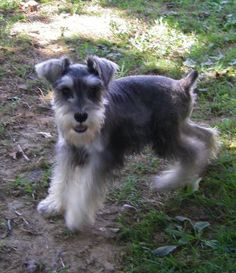 Looks so much like our schnauzer! They are such awesome little dogs!