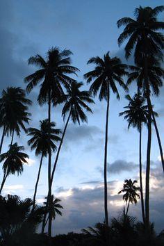 Fiji Palm Trees
