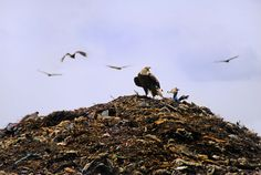 Reducing food waste could put birds and other animals at risk. Animals like bald eagles are dependent on food from landfills.