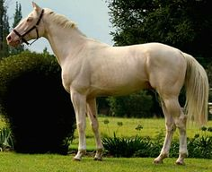 Cremello Czech warmblood stallion Amor.