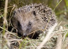 There are 17 different species of hedgehog. | 20 Enchanting Facts About Hedgehogs
