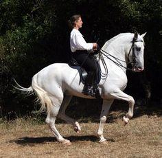Magnifique étalon Lipizzan dressage haute école http://www.equirodi.com/annonces/cheval-a-vendre/magnifique-etalon-lipizzan-dressage-haute-ecole-119347.htm