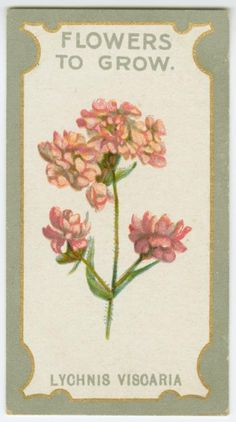 Lychnis viscaria. From New York Public Library Digital Collections.
