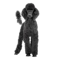 History of the Poodle