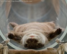 The ultimate in otter relaxation