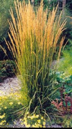Karl forrester reed grass great fally looking perennial for Decorative grasses full sun