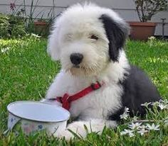 Image result for old english sheepdog puppies