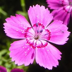Dianthus Deltoides - 100_0172a by sierrarainshadow, via Flickr