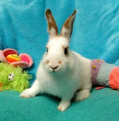 ●7•12•16 SL●AQUARIUS!! <3 <3 <3 • Bunny Rabbit • Baby • Female • Small. This sweet as apple Pie in the sky baby girl is simply a dream! Silky baby soft fur, longs for love & attn all the time! She's even potty trained herself! Came from King County Animal Shelter on 6/11/2016 w/ 2 others (Apollo & Boomerang). We'd love to get her into her forever home ASAP so she can learn a routine early in life. Animal Friends Rescue Project; Pacific Grove, CA.