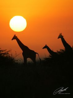 SUN - Giraffes - Phinda Private Game Reserve - South Africa - 03015 - CSP
