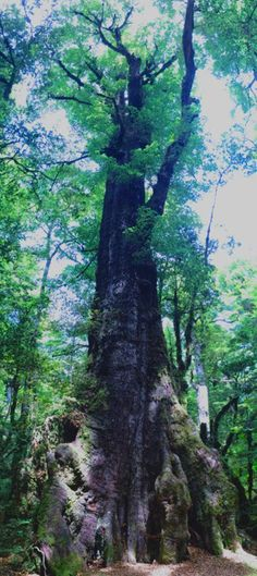 Baum im Fjordland, Südinsel Neuseeland