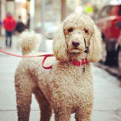Rex, Standard Poodle, SoHo