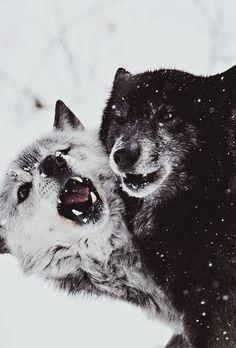 Les yeux noirs du loup brillent dans l'obscurité Un bruit sec et l'ombre d'une masse fend l'air, une griffe acérée perfore le flanc de l'animal. Le loup hurle et s'enfuit parmi les arbres.