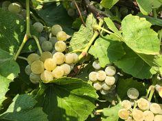 Brianna grapes ready to harvest