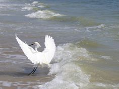 White Crane flashes its Wings Photograph  - White Crane Spreads its Wings Fine Art Print