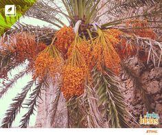A tamareira é uma palmeira cultivada há séculos em regiões desérticas da África e da Ásia. Elas dão origem à tâmara, um fruto altamente nutritivo, apreciado tanto em forma natural, quanto seca.