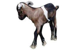 farm goat kid / козлёнок на ферме - 3D Warehouse