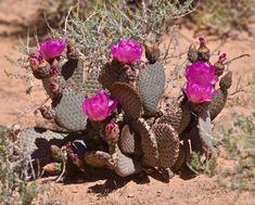 Beavertail Cactus (Opuntia basilaris) Opuntia Basilaris, Purple Plants, Planting Flowers, Beautiful Flowers, Cactus, Floral Wreath, Wreaths, Decor, Floral Crown