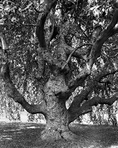 Rencontres d'Arles - Hêtre pleureur, jardin botanique de Brooklyn, 2011 © Mitch Epstein