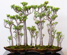 Crassula sarcocaulis Wald