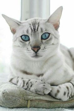 Egyptian Mau: The distinction of being the oldest cat breeds. Ancient paintings, pictures and sculptures have depicted the spotted cats that date back to the Egyptian era when cats were regarded as sacred. Cool Cats, I Love Cats, Crazy Cats, Weird Cats, Pretty Cats, Beautiful Cats, Animals Beautiful, Cute Animals, Pretty Kitty