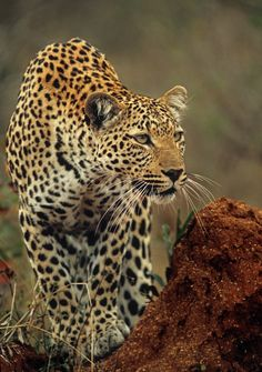 Leopard Focus on 500px by Rudi Hulshof, Pretoria, South Africa ☀ Nikon SUPER COOLSCAN 5000 ED, 4184✱5945px-rating:97.4