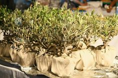 Olive trees for wedding decoration