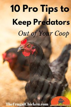 It's heartbreaking raising chickens only to have them stolen and killed by a predator. Use these 10 tips to keep your hens safe (don't forget to grab the checklist as well as 3 extra tips!)